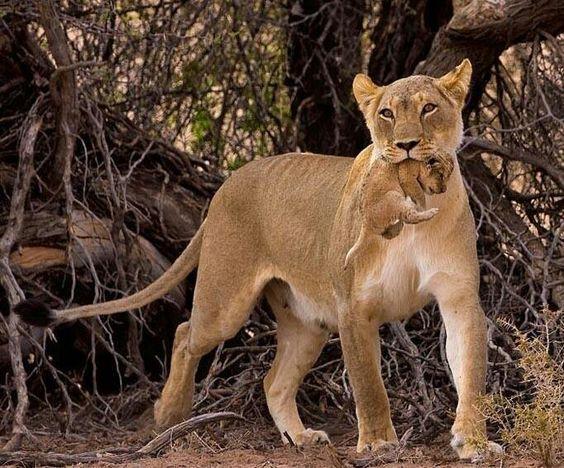 Mãe leoa