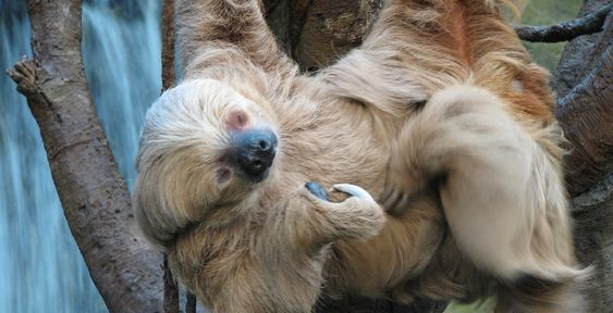Old Sloth   Sloth Fact 8 – The Average Age of a Sloth  If left alone a sloth can live up to 20 years! The only reason some species are going extinct is because their habitat keeps getting destroyed by humans. A lot of people believe sloths are going extinct because of predators, but that is simply not the case. Humans just need to leave them alone