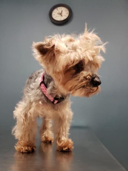 Adopt Romeo On Petfinder Yorkshire Terrier Yorkshire Terrier Dog Adoption