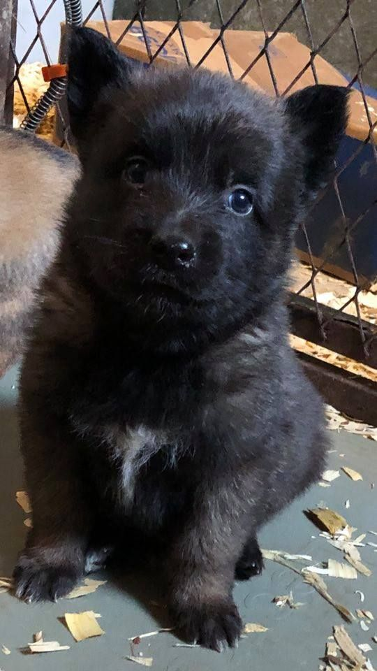 Belgian Malinois Puppy Dark Sable Www Wolfsbanek9 Com Malinois Puppies Belgian Malinois Puppies Malinois Dog