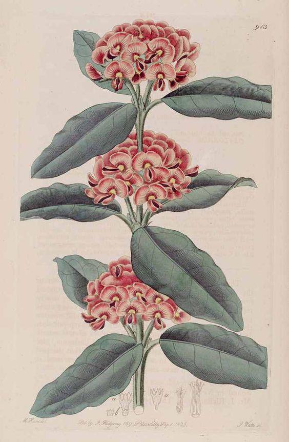 Gastrolobium coriaceum (Sm.) G. Chandler Crisp [as Oxylobium retusum R. Br. ex Lindl.] Botanical Register, vol. 11: t. 913 (1825) [M. Hart] Prickly poison
