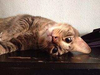 Nana Cat | Pawshake
