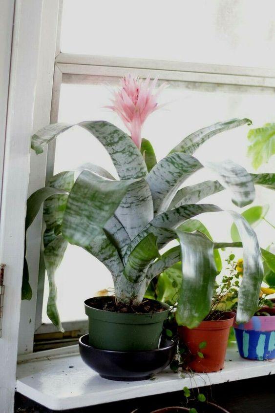 pink flowering bromeliad fasciata    eBay
