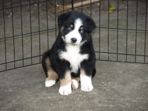 Australian Shepherd Puppy For Sale In Saint Johns Fl Adn 71708