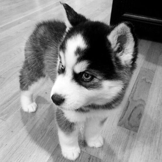 シベリアンハスキーのかわいい子犬