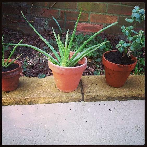 Repotting #gardening #greenfingers #urbangardening #succulents:
