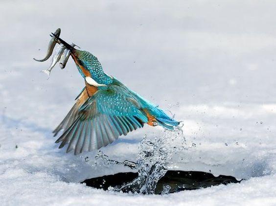 Photos d'un beau martin-pêcheur en action