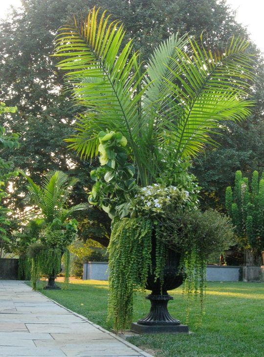 Chanticleer ravenea rivularis also called majesty palm for Beautiful planters