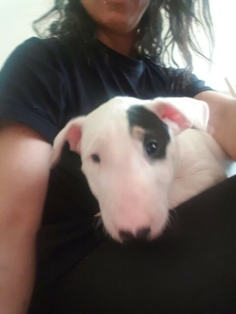 English Bull Terrier Puppys For Sale In Uxbridge London Gumtree English Bull Terriers English Bull Bull Terrier