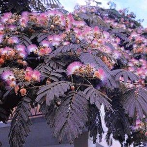 summer albizia julibrissin and plants on pinterest. Black Bedroom Furniture Sets. Home Design Ideas