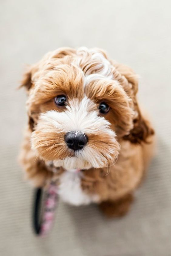 Most adorable puppy face. Amazing Dog Houses and Adorable Puppies to Pin. #cutestpuppy