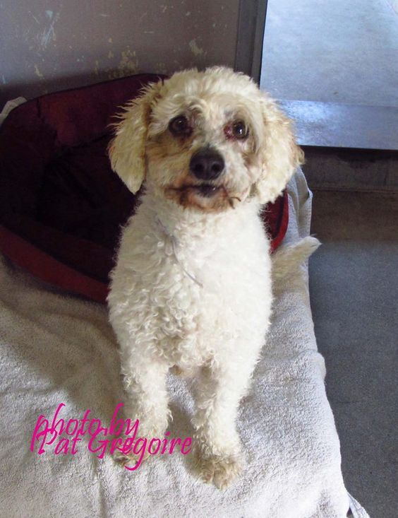 A4785652 I am a very friendly 3 yr old neutered male white Toy Poodle mix. I came to the shelter as a stray on Dec 20. available 1/3/15 4275 Elton Street, Baldwin Park, California 91706 Phone 626 430 2378 https://www.facebook.com/photo.php?fbid=895046837173821&set=a.705235432821630&type=3&theater