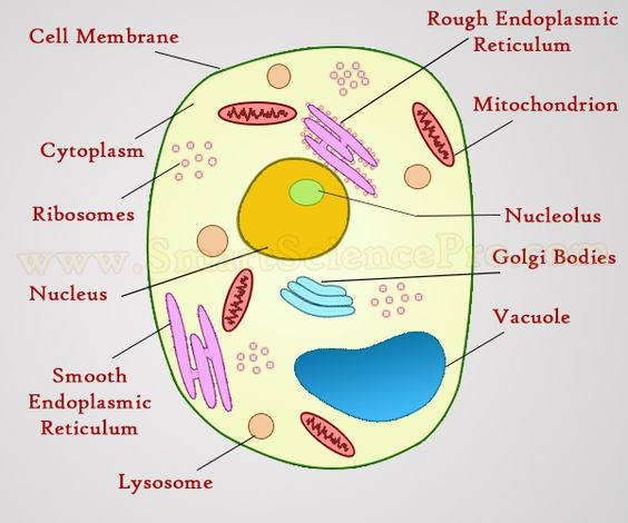 plant and animal cells not labeled google search 6th