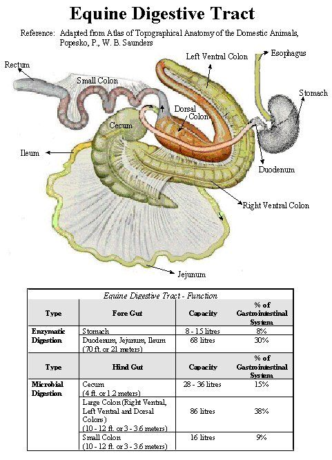 Horse Digestive System Diagram