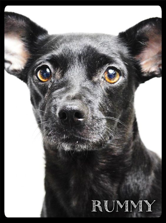 Meet Rummy a Petfinder adoptable Terrier Dog | Simi Valley, CA | ALWAYS check our WEBSITE DIRECTLY to see if this dog or puppy is still available.