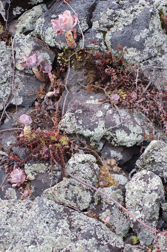 Musgos, orejas de burro, helechos haciéndose un espacio entre la roca volcánica