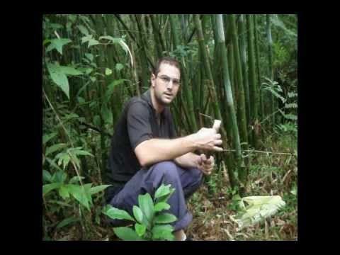 plantas comestiveis (bambu)