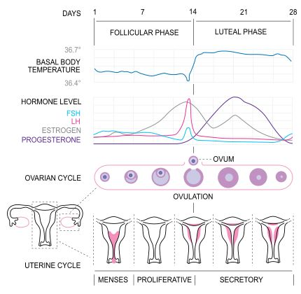 MENSTRUAL CYCLE : WHAT YOUR BODY DOES TO MAKE A PERIOD -------  Your body releases hormones (LH, FSH, progesterone, oestrogen / estrogen). These hormones control your body temperature, the making of an egg (ovum), the release of this egg and the status of the womb lining (endometrium). Your uterus & ovaries are hard worked and incredibly beautiful & mysterious! Tags? science, health, obgyn, women, healthcare, aunt flo, human, life, pregnancy, menopause, natural, fertility