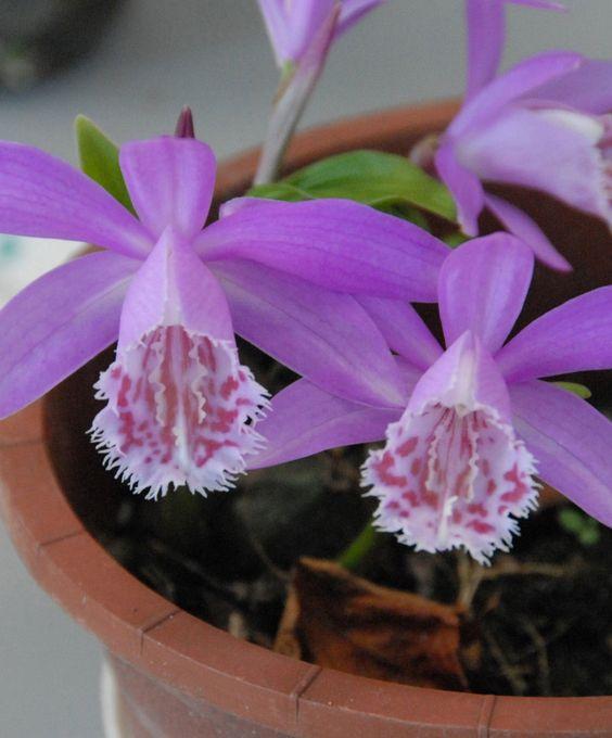 Tibetan Peacock Orchid - Pleione tongariro: Exotic Orchids, Ice Orchids, Gardening Orchids Pleione, Magic Orchids, Growing Orchids, Garden Orchids, Flowers Orchids, Beautiful Orchids