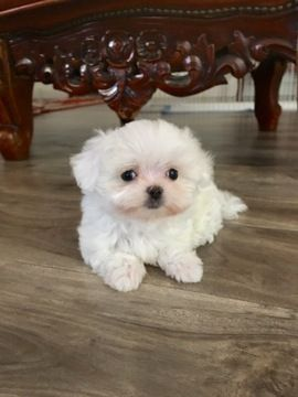 Maltese Puppy For Sale In Los Angeles Ca Adn 50597 On
