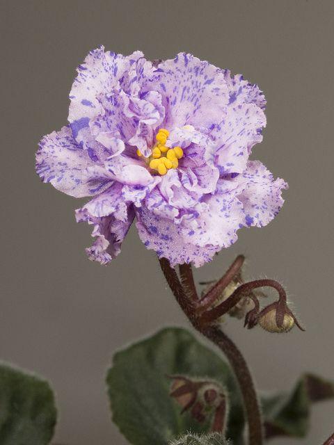 Saintpaulia (African violet) 'Lyon's Magic Charm'