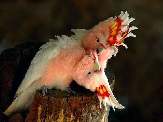 Beautiful snuggling cockatoos.