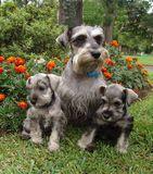 Família Do Schnauzer Imagem de Stock - Imagem: 938341