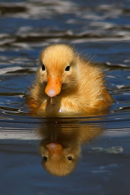 Reflection of a baby duckling