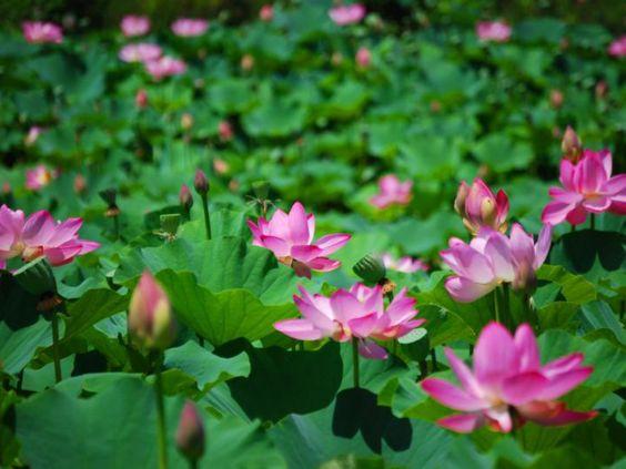 Kenilworth Park And Aquatic Gardens Washington Dc Places I D Like To Go Pinterest