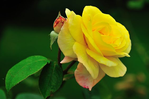 Rose jaune, Les fleurs - Philippe Chailland - MonSitePhotos