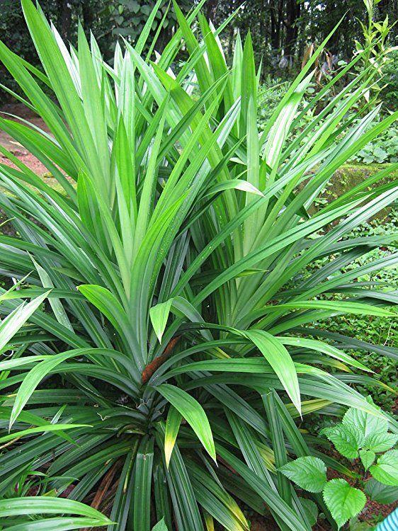3-Pandan-seedlings-Aromatic-fragrant-Plants-Pandanus-amaryllifolius Ceylon