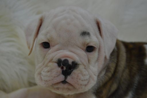 Valley Bulldog Puppy For Sale In Caulfield Mo Adn 64432 On