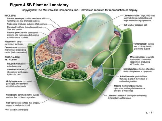 labeled plant cell and Functions | Molecular Biology ...