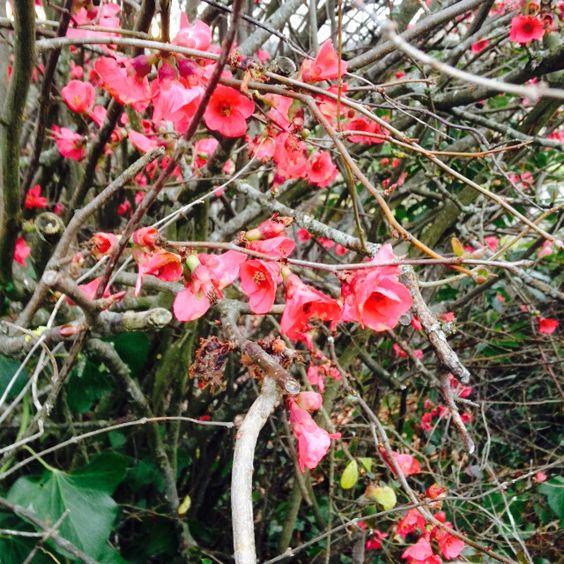 Fleurs rose d'hiver