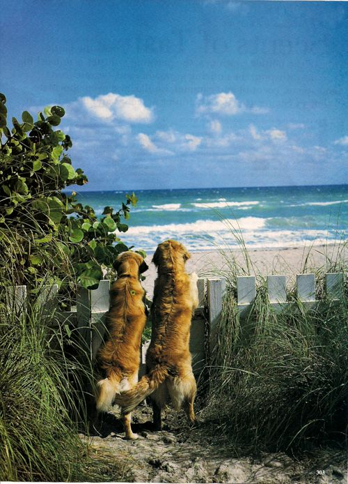 Two Golden's at the Beach: