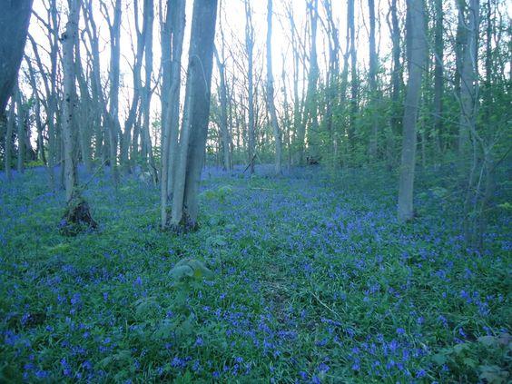 Wild Bluebells in the woods, Kent