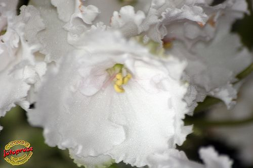 Exhibition of African Violets & other Gesneriads - 'Ma's Pillow Talk' C20090418 035