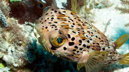 Porcupine Puffer Saltwater Fish Puffers Fish Puffer Puffer Fish
