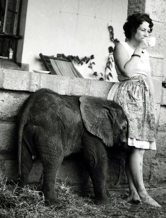 4 June 1934 – 12 April 2018: Daphne Sheldrick: dedicated over 60 years of her life to the protection of Africa's wildlife and some of the world's most iconic and threatened animals.She was the first person to successfully hand raise a milk dependent newborn elephant and rhino, knowledge that has seen more than 230 orphaned elephants saved in Kenya, and countless other infant elephants in countries across Africa and into India.