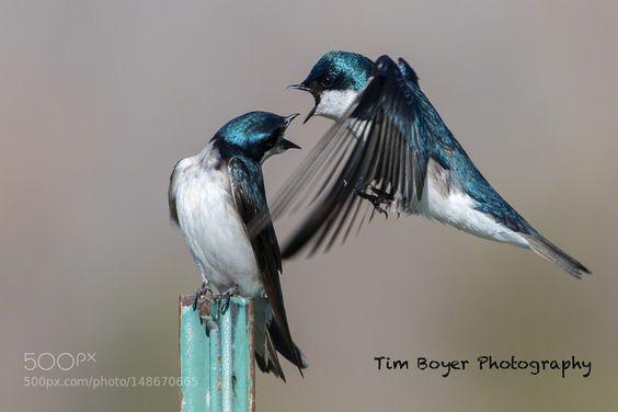 Tree Swallows Talkin' by tboyer via http://ift.tt/25TJMu4