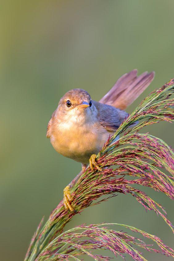 Eurasian Reed Warbler by Roberto Melotti