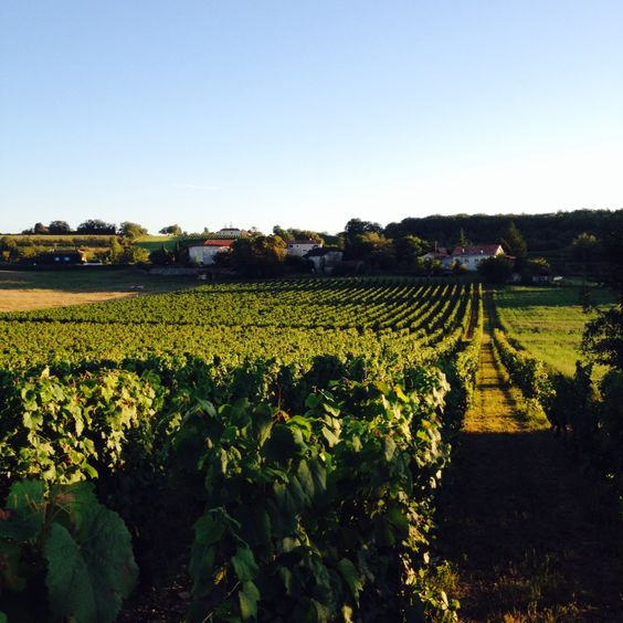 The vineyards.
