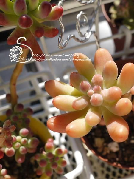 Sedum: 戀心。  so lovable peach color。  source: http://www.facebook.com/photo.php?fbid=543049642402304=a.211701195537152.59713.208842195823052=1
