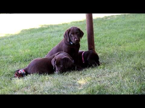 Labrador Retriever Puppies Ohio Rescue Chocolate Lab Puppies For