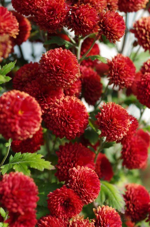 uyamt:  菊きく Chrysanthemum
