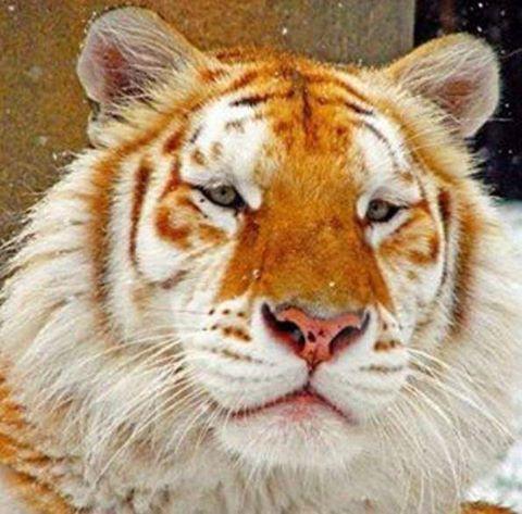 El tigre dorado, también conocido como tabby, es un mutante felino del que se conocen unos 30 ejemplares en el mundo. El primero se encontró hace más de 100 años en la India y los pocos que quedan son descendientes de los tigres blancos.