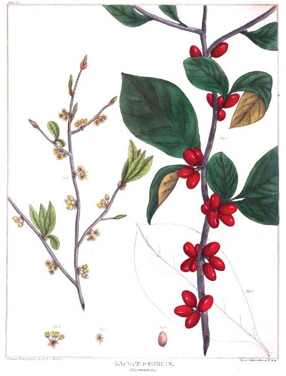 Spicebush or Lindera Benzoin.  Wm PC Barton.