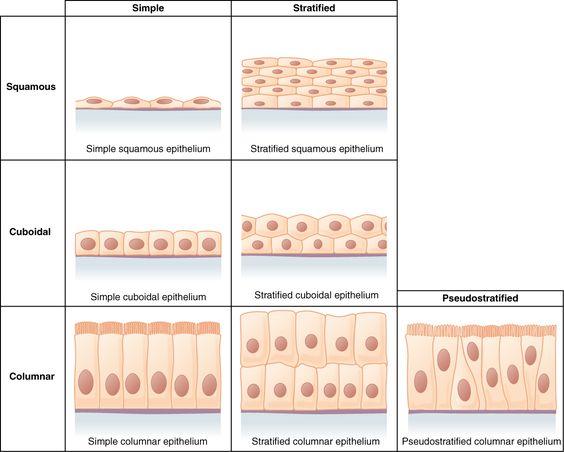 Epithelial tissues are classified according to the shape of the ...