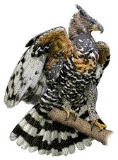 African Crowned Eagle Decal