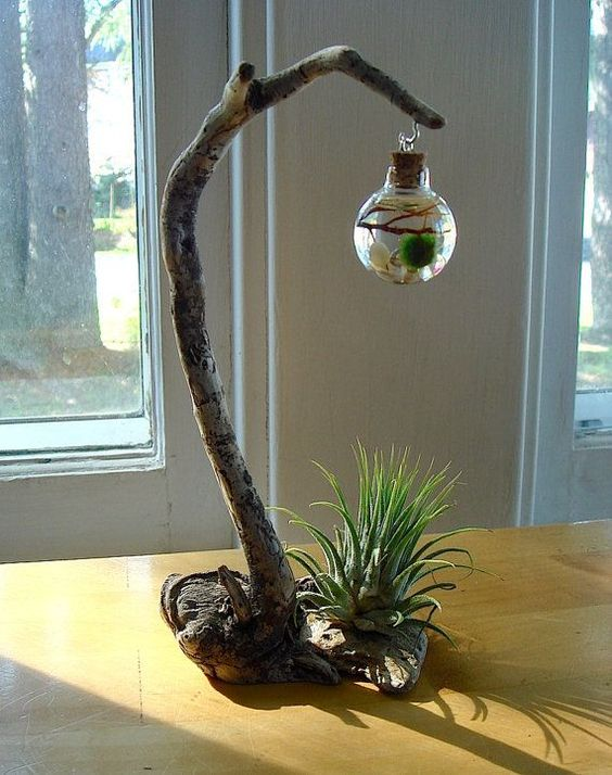 driftwood live marimo ball air plant zen ecosphere terrarium boule de mousse zen et plantes. Black Bedroom Furniture Sets. Home Design Ideas